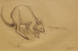 Wallaby sketch