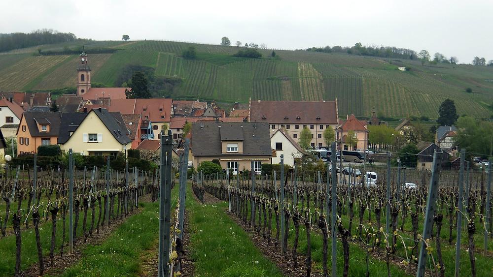 Vineyards outside Riquewihr