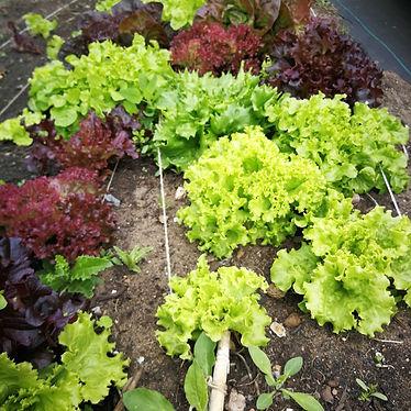 lettuce market garden.jpg