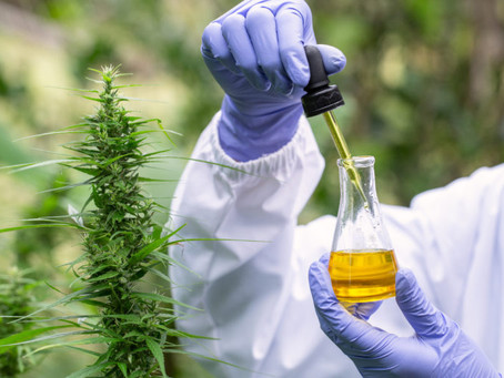 Swiss Certified Cannabis SCC bei Soft Secrets