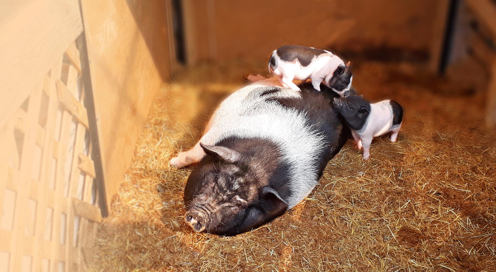 아기돼지 태어났어요
