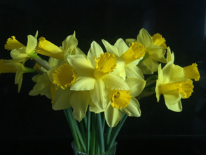 daffodils Louise Robinson.JPG