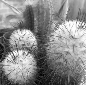 budding cacti Louise Robinson.jpg