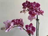 Orchid Gift Julie.JPG