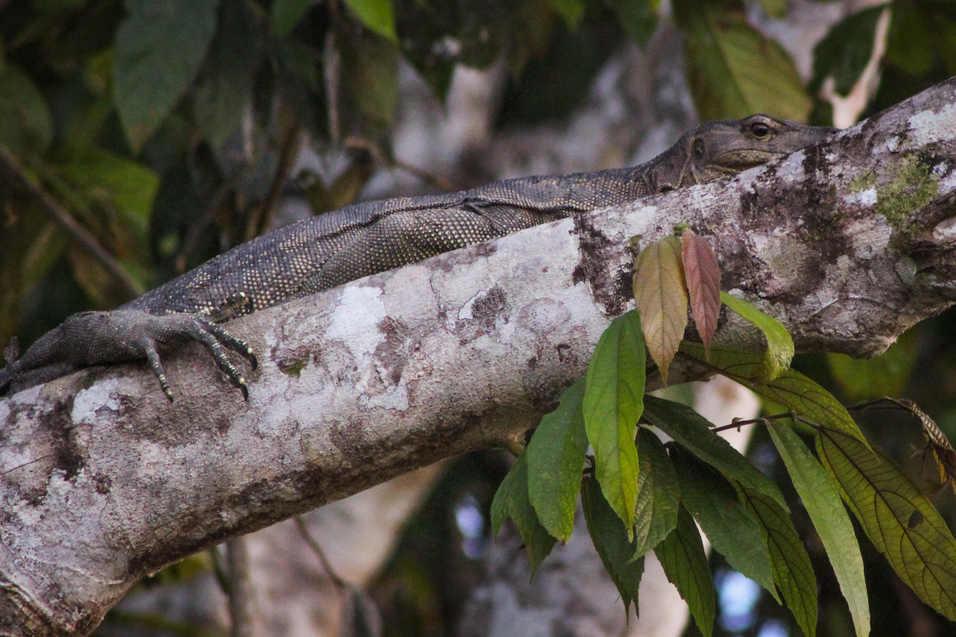 Monitor Lizard - Kinabatangan River, Borneo