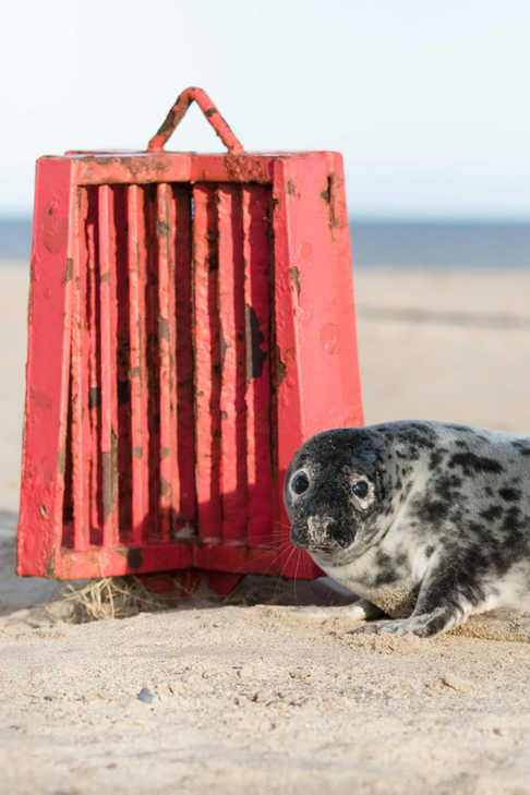 Grey Seal - Norfolk Coast