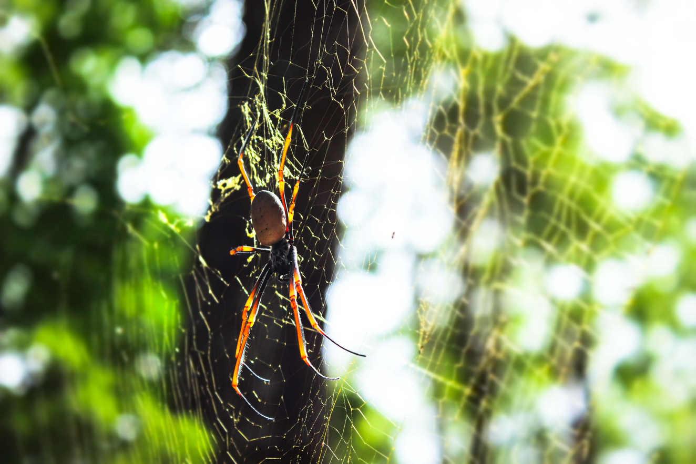 Australian Golden Orb-Weaving Spider - Fraser Island, Australia