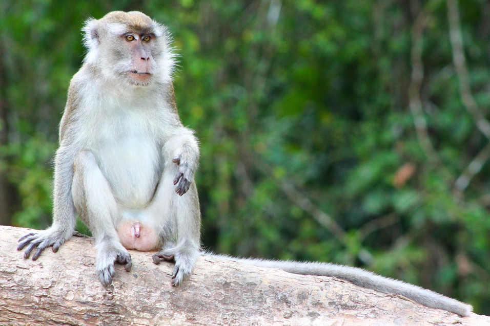 Macaque - Kinabatangan River, Borneo