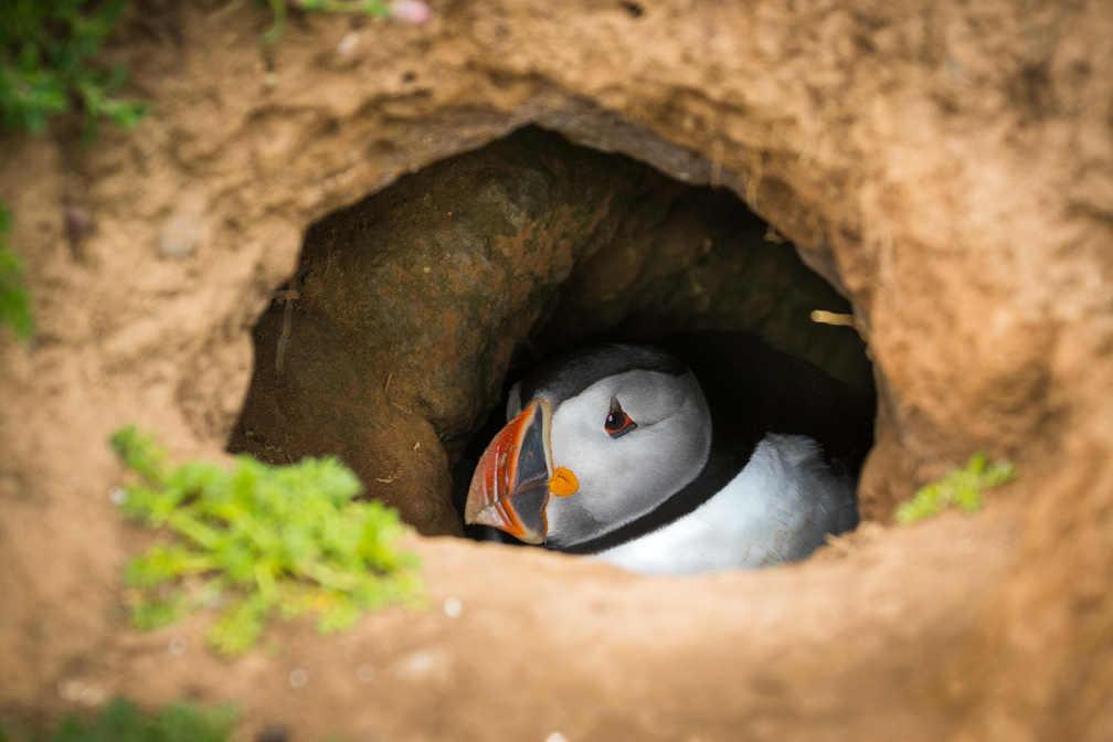 Nesting Puffin - Skomer Island