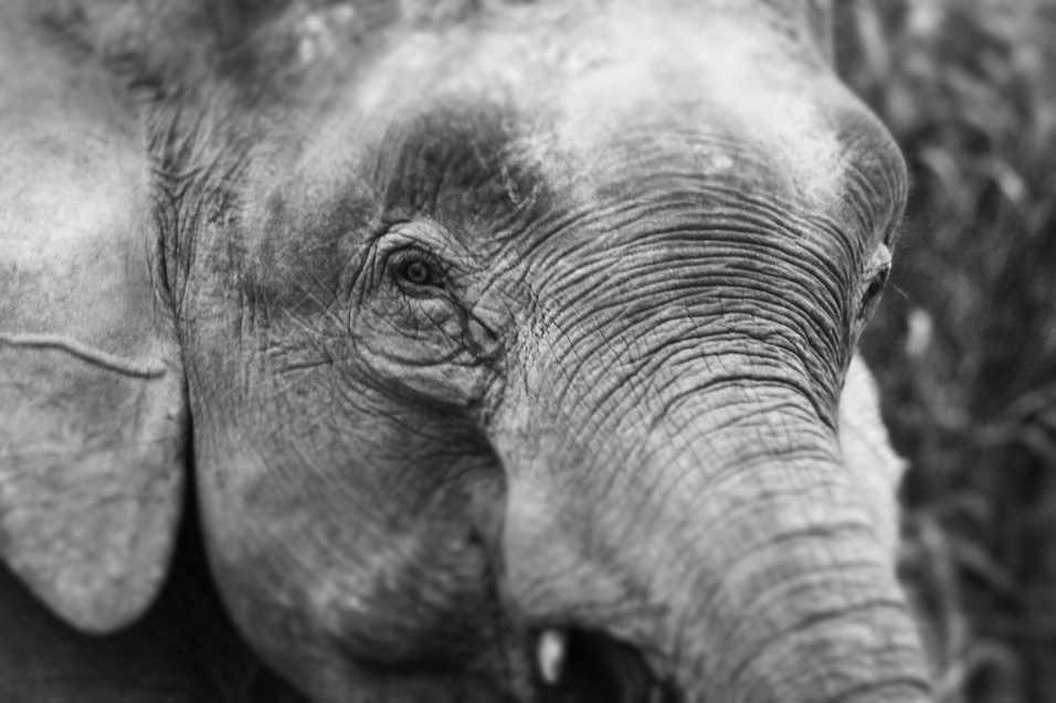 Pygmy Elephant - Kinabatangan River, Borneo
