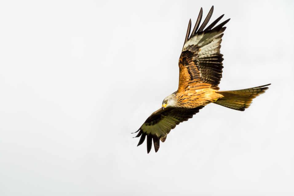 Red Kite - Carmarthenshire