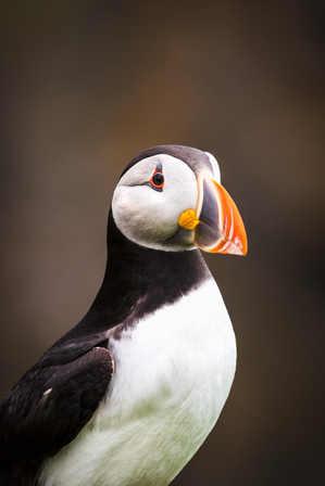 Puffin Portrait - Skomer Island
