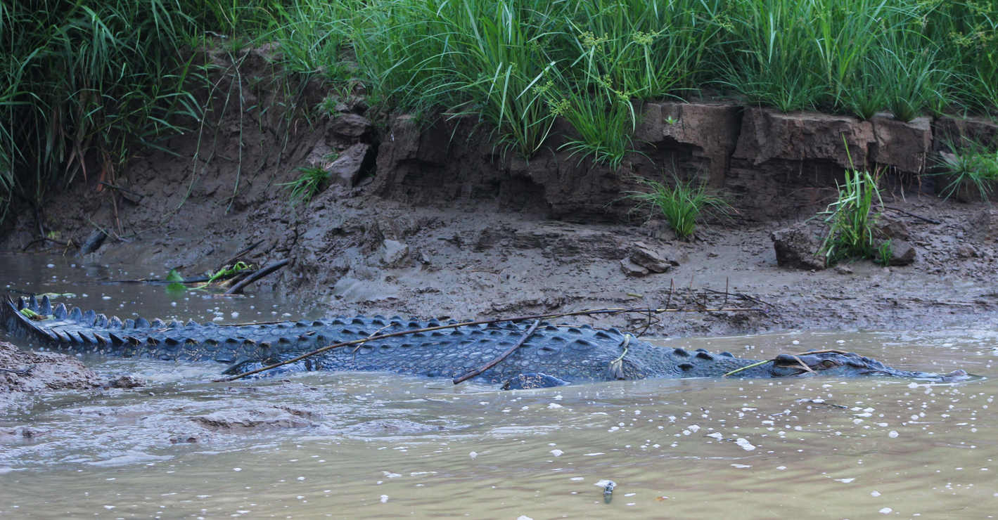 5.5 Metre Saltwater Crocodile - Kinabatangan River, Borneo