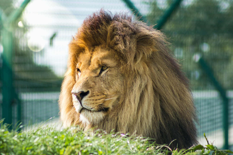 Hugo The Lion