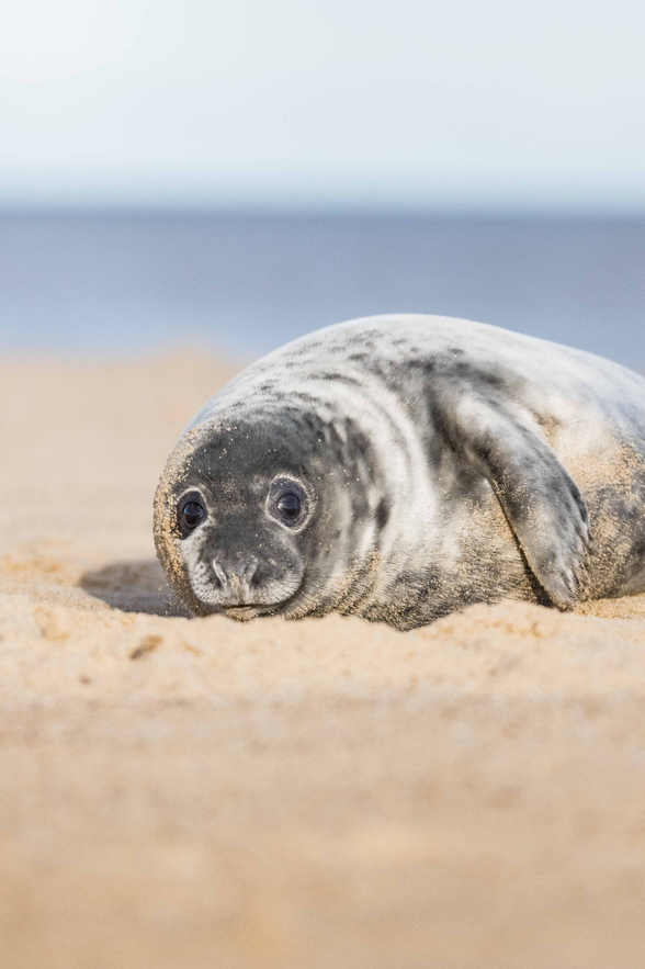 Grey Seal - Norfolk Coast