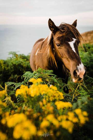 Wild Pembrokeshire Pony