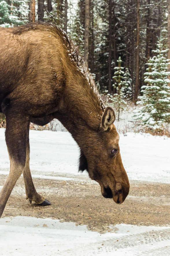 Moose - Jasper, Canada