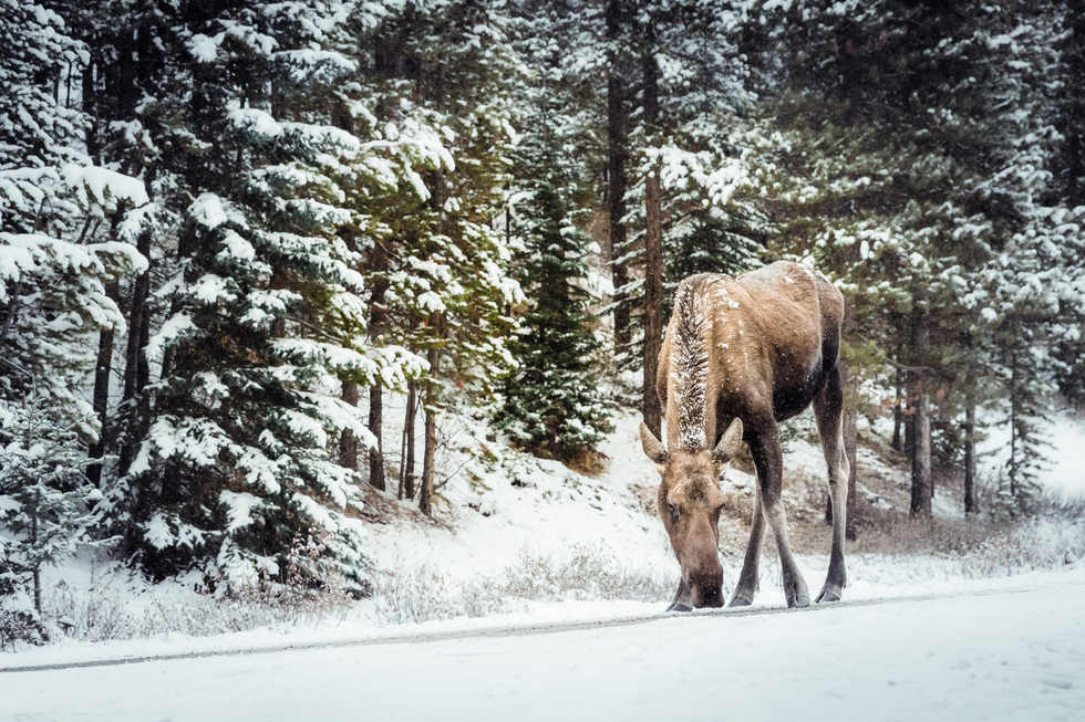 Christmas Card Moose - Jasper, Canada