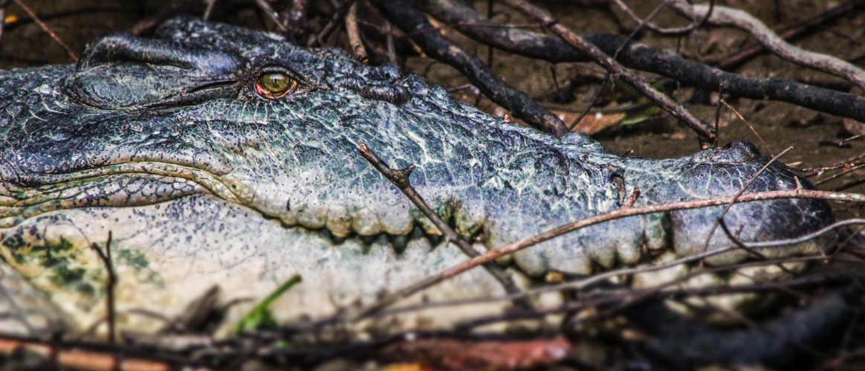 Saltwater Crocodile - Kinabatangan River, Borneo