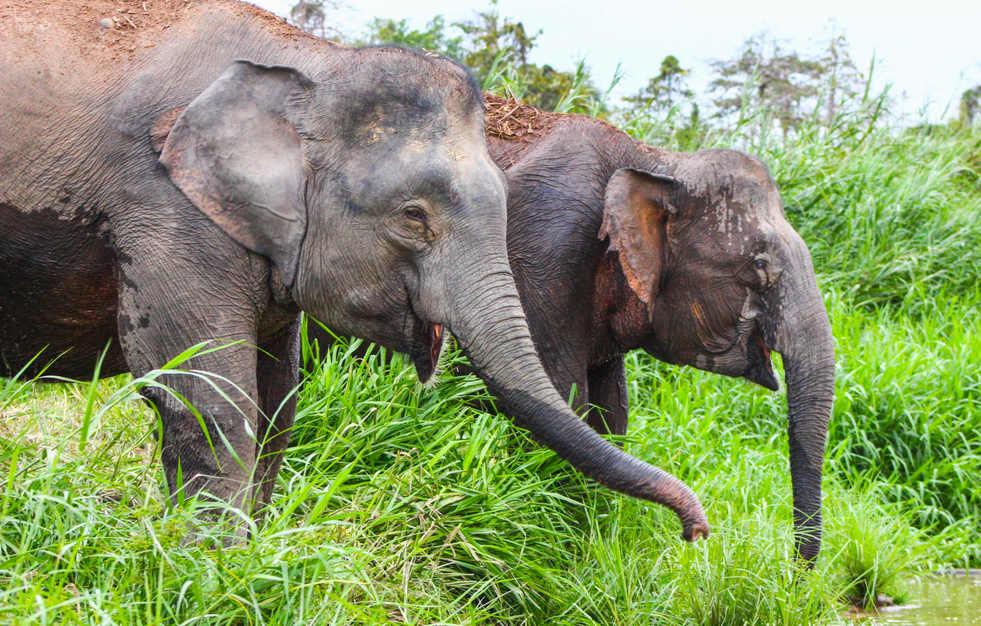 Pygmy Elephants - Kinabatangan River, Borneo