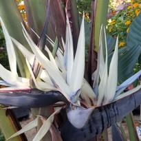 Thiona- White Bird of Paradise_edited.jp