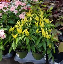 Funky ornamental Peppers-_edited.jpg