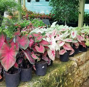 Shade plants for Texas.jpg