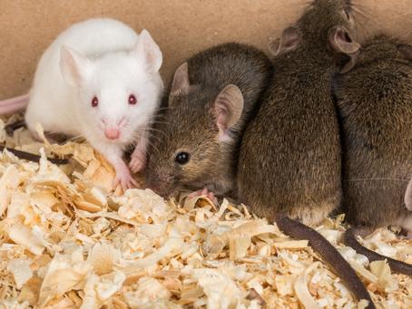 Extraño caso de mujer de San Diego que vivía con al menos 300 ratas