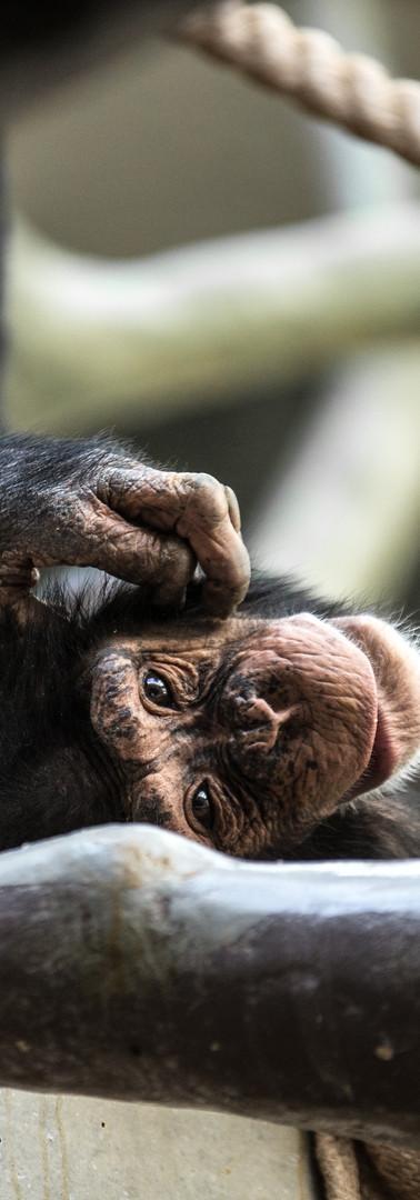 MartinFoto.ch_natur_chimpanse