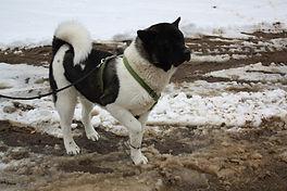 Akita puppies, AKC akita puppies for sale, located in northern minnesota,quality akita puppies, akita puppies for sale,akita puppy for sale,best akc akita pups,Akita puppies for sale