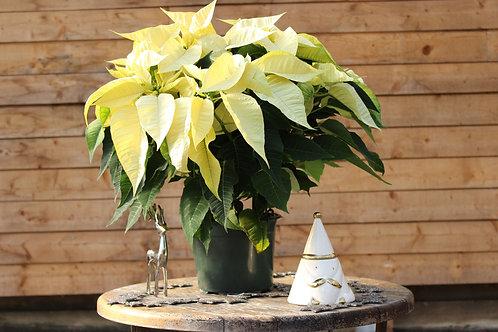 """Poinsettia 7"""" White"""