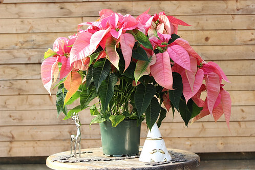 "Poinsettia 8"" Pink"