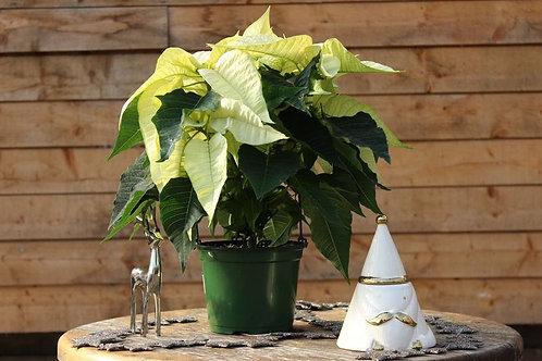 """Poinsettia 6"""" White"""