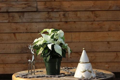 """Poinsettia 4.5"""" White"""
