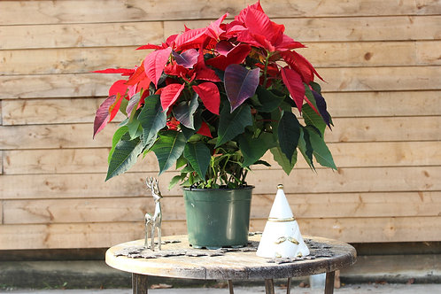 "Poinsettia 8"" Red"