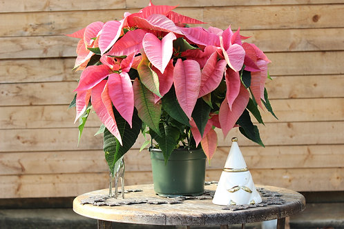 "Poinsettia 7"" Pink"