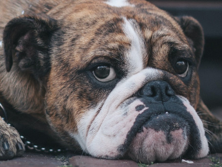 Tartan, the bulldog - A story