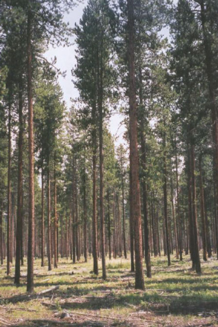 Managed Forest