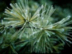 pine bough.jpg