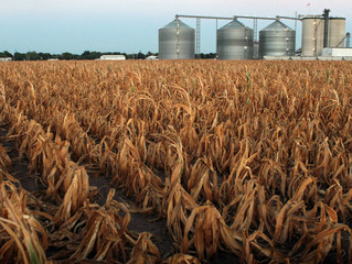 Corn Could Be Major Victim of Climate Change