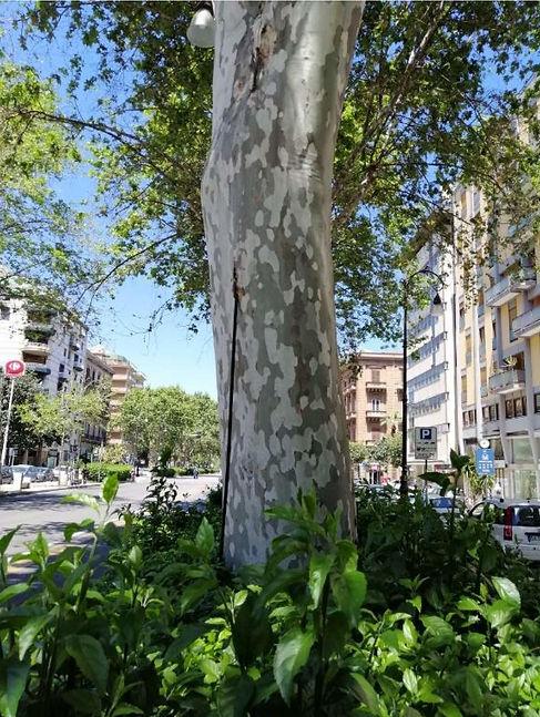 Segnalazione_Platani_Monumentali_Via_Lib