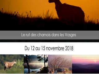 Rut du chamois dans les Vosges