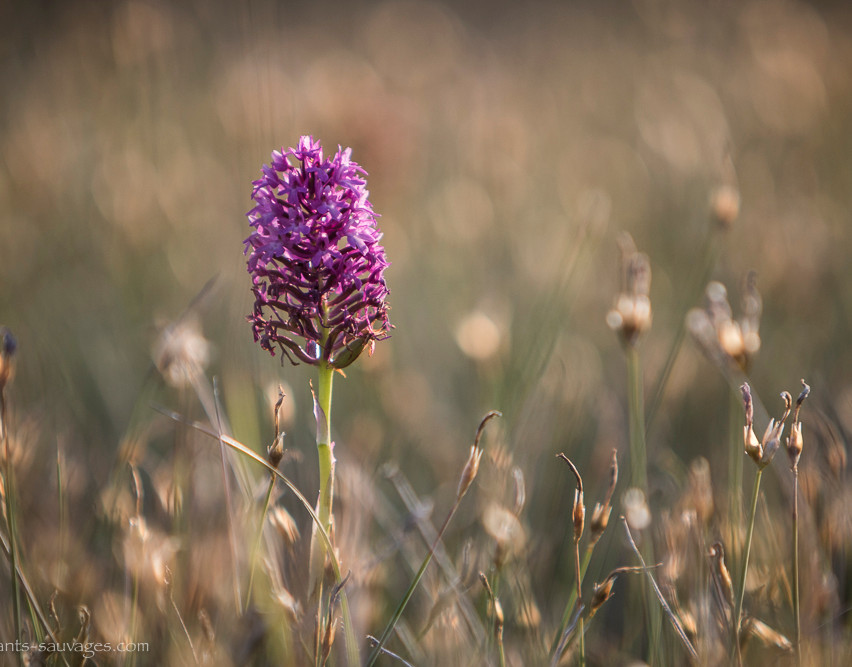 024_Orchis sp