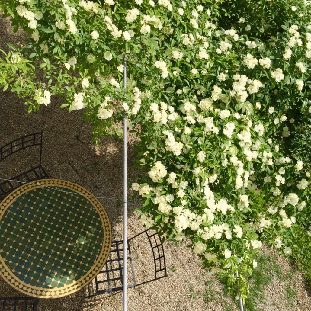 All'ombra della rosa Banksiae