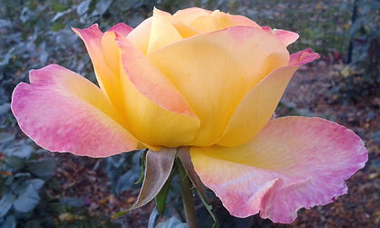 Rose3 closeup.jpg