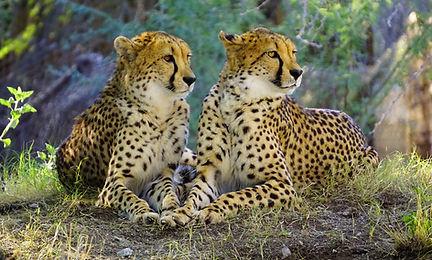 cheetah-2268955_Web.jpg