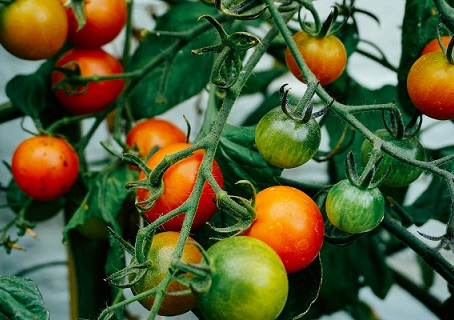 8 Problem Causing Mistakes Tomato Plant Growers Make!