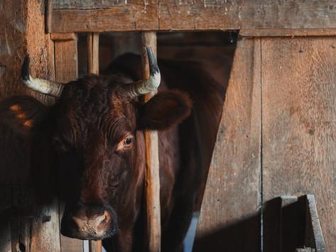 Documentary: Cowspiracy