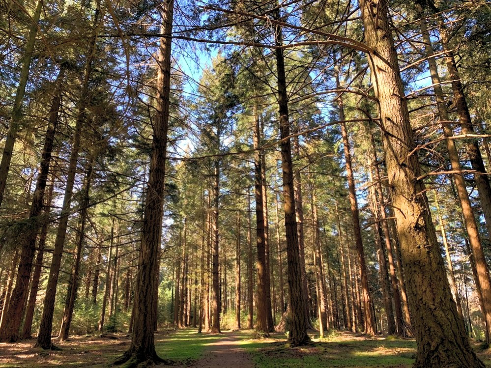 A forest of tall pine trees