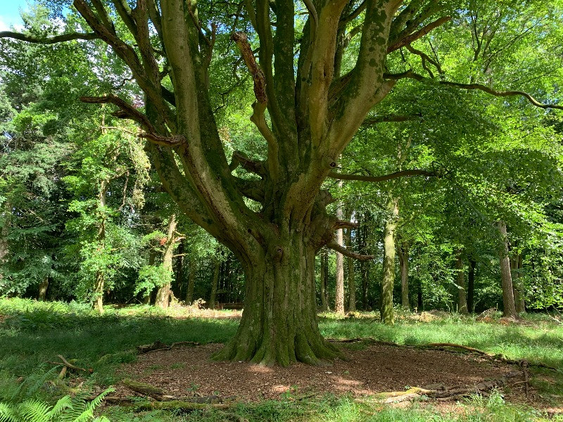 A smaller beech tree in the woods.